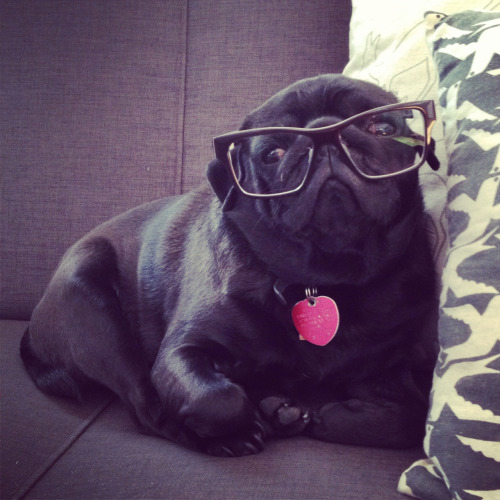 carliihde:  bahhumpug:  Hipster pug is too cool for you  I was flat before it was cool.
