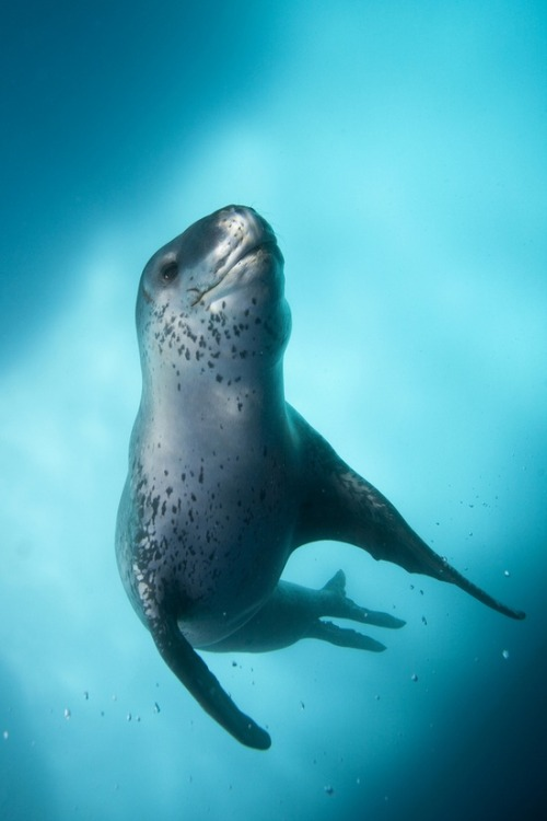 wilddeepblueseas:  Leopard Seal Antarctica by Scott Portelli on 500px
