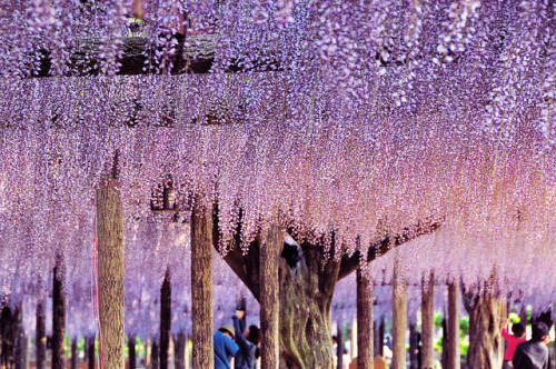 ileftmyheartintokyo:  Wisteria by beth_syk on Flickr.