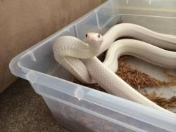 white snake noodle reptile scales herps rat snake No Feet herptile sneig angry snake texas lucy rat snake
