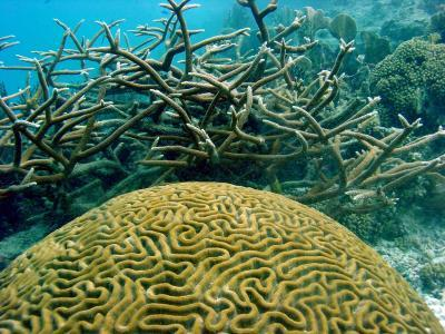 "Doom of Coral Reefs is Not InevitableCoral reefs are in decline, but their collapse can still be avoided with local and global action. That's according to findings reported in the Cell Press journal Current Biology based on an analysis that combines the latest science on reef dynamics with the latest climate models.""People benefit by reefs' having a complex structure — a little like a Manhattan skyline, but underwater,"" says Peter Mumby of The Univ. of Queensland and Univ. of Exeter. ""Structurally complex reefs provide nooks and crannies for thousands of species and provide the habitat needed to sustain productive reef fisheries. They're also great fun to visit as a snorkeler or diver. If we carry on the way we have been, the ability of reefs to provide benefits to people will seriously decline.""Read more: http://www.laboratoryequipment.com/news/2013/05/doom-coral-reefs-not-inevitable"