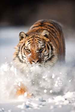theanimaleffect:  The Tiger and The Snow 2 by catman-suha