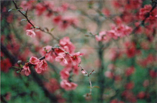 implored:  Japanese flowering crabapple by Eva Patikian