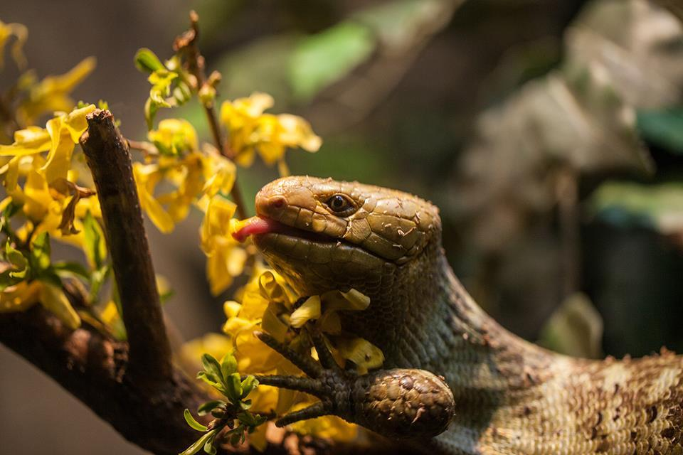 son-pereda:  via Fresh Flowers for Mother's Day | Lincoln Park Zoo  The nocturnal reptile tries a taste. In its native habitat of the Solomon Islands, the species primarily feeds on leaves  Prehensile-tailed Skink. ..i don't know if it's a mother or not X) @Lincoln Park Zoo, IL.