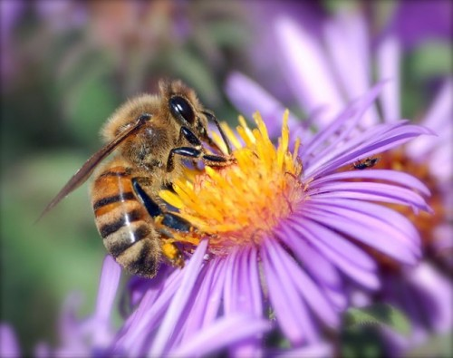 "Bees Can Sense Electrical Fields, Interpret Them to Make Decisions  As they travel through the air, bumblebees lose electrons, accumulating a small positive electrical charge. Flowers, meanwhile, are generally negatively charged at the top, thanks to a slight positive charge in the air around them. As a bee approaches a flower, a tiny electric field is created between plant and pollinator. In the past, scientists have suggested that these differing charges encourage the transfer of pollen between flower and bee, helping the tiny pollen grains ""jump"" onto the pollinator. However, [a] new study showed that the bee's landing actually influences the flower's electrical charge—increasing it slightly—for a short period of time. The study's authors hypothesize that this change may signal to the next bee that the flower has just been visited and that its nectar stash is depleted. Other cues, such as a flower's shape or color, sometimes change in response to a bee's visit, but these changes can take hours. The electrical field, on the other hand, changes almost instantaneously, providing a nearly immediate signal to incoming bees. In order for this process to work, bees must be able to sense the electrical fields of flowers. To test this ability, the researchers created a field of fake flowers that they could manipulate. Half the flowers were positively charged, and these flowers held a tiny bit of sugar solution as a reward for the bees. The remaining flowers had no charge and held a bitter quinine drink. After just 40 visits, the bees had learned that the positively charged flowers were rewarding, and they visited them more than 80 percent of the time. Once the charges were turned off, the visitation rate to the sugar-laden flowers decreased to random chance, since the bees no longer could use the electric field as a cue. In a similar test, the researchers found that the bees could even distinguish between flowers that differ in the geometry of their electric field. The bees learned quickly that flowers with a ""bullseye"" electrical pattern—with a negatively charged center ring and a positively charged outer ring—were rewarding, while flowers with an even positive charge were not.  (via Bees can sense—and learn from—the electric fields of flowers 