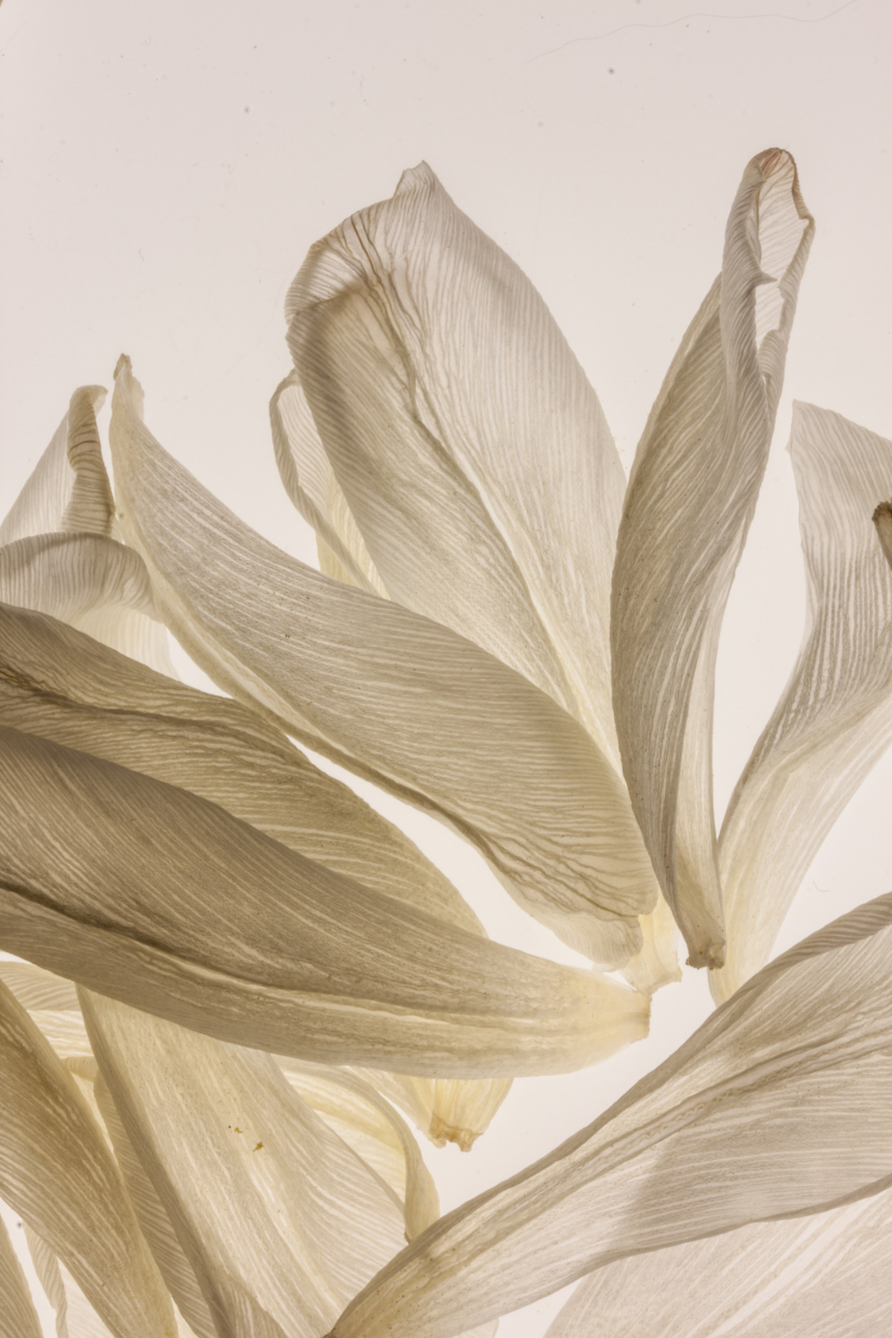 hague51:  Light as feathers… …white tulip petals