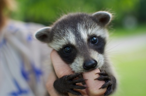 fuckyeahbabyanimals:  I've put this baby raccoon on all my wishlists for this year.