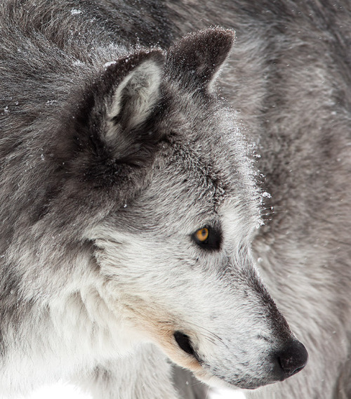 animalkingd0m:  Grey Wolf Encounter by David de la Fuente Coello