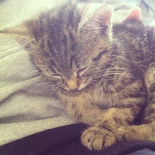 opalmoonbeam:  This is my sleepy Marcy, she's too cute. #kitten #baby