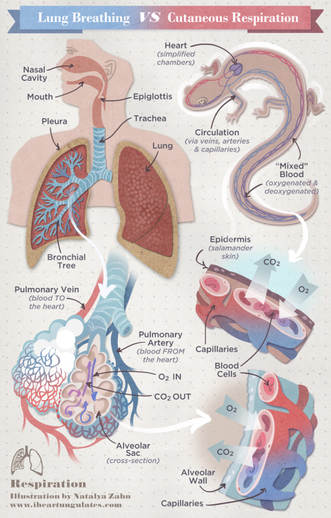 mucholderthen:  From Salameandering:  Lungs are what enabled the ancestors of all tetrapods to climb out of the Devonian soup some 400 million years ago …  Since they utilize the vast surface area of alveoli for gas exchange, rather than the relatively limited amount of surface area provided by a creature's skin … An average human adult's skin has a surface area of roughly 16-21 square feet whereas the surface area of the alveoli inside that same human is about 100 square yards! Amphibians are neither large, nor particularly active, … amphibians of the order Anura (ie: frogs) evolved four mechanisms for breathing: through gills via lungs through their very permeable skin through sensitive skin inside the mouth. Lungless salamanders (2/3 of all salamander diversity) took things one step further and got rid of the primitive lungs all together, to rely solely on cutaneous gas exchange.   Read more at Salameandering Into Cutaneous Respiration.