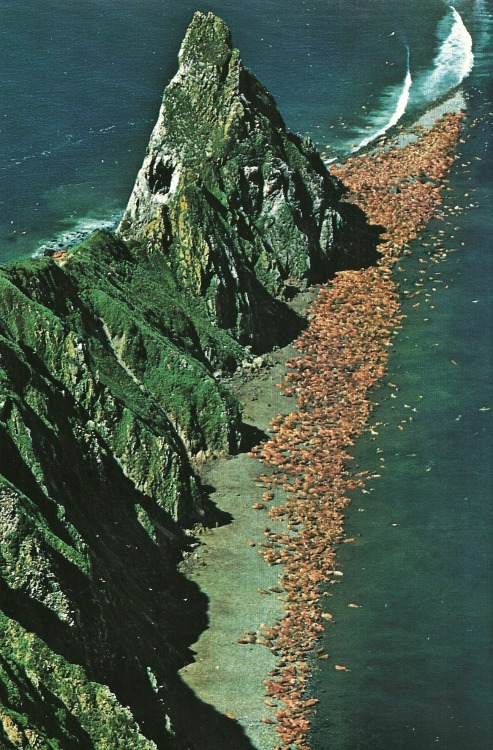 vintagenatgeographic:  Walruses on Alaska's Round Island National Geographic | October 1979
