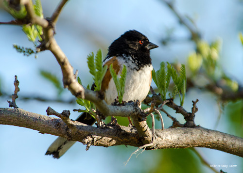 xipitipix:   Spotted Towhee sings down the sun