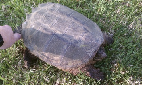 I found this common snapping turtle in the middle of the road yesterday on my way to work. I picked it up and released it into a nearby pond before it was run over.