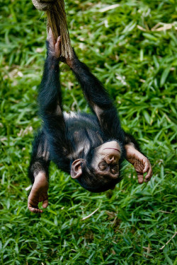 Swinging upside-down Chimp by Evan Animals on Flickr.#Cute#Nature#Photo