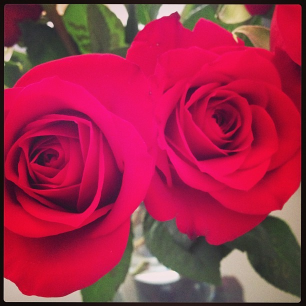My roses are in full bloom! @aaronjcoriell #photos #flowers #red #roses #boyfriend #love #igers #igdaily #igaddict #iphone5