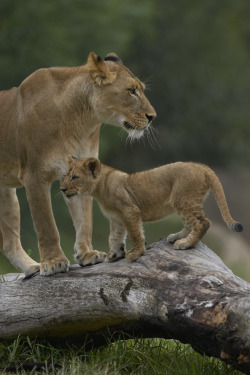 mystic-revelations:  Lion cub & mother By Official San Diego Zoo