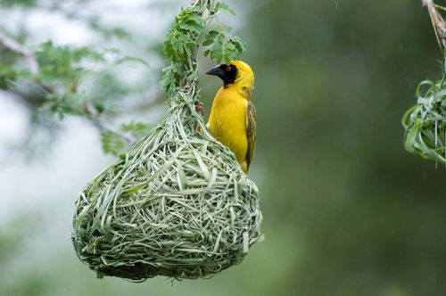 ichthyologist:  African Masked Weaver (Ploceus velatus) Weaver birds, as their name suggests, weave intricate nests out of reeds and grasses. Nesting in colonies, males have several female partners and build around 25 nests every season. Derek Keats on Flickr Chris Eason on Flickr