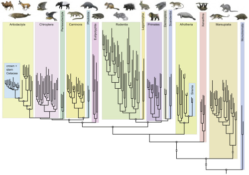 """The phylogenetic position of Cetacea relative to other extant mammals. Parsimony analysis of 26 nuclear loci (Goloboff weighting with k = 2) position Cetacea deep within Artiodactyla and distantly related to other obligately aquatic mammals (Sirenia). For the placements of aquatic mammals and for relationships among higher-level placental groups, circles at nodes indicate >90% bootstrap support. Branches are proportional to the number of substitutions optimized to branches; long basal branches with cross bars were truncated for aesthetics. The cladogram is rooted by vertebrate outgroups to Mammalia (Gallus, Taeniopygia, Anolis, Xenopus, Danio). Artwork is by Carl Buell."" A phylogenetic blueprint for a modern whale. Gatesy J, Geisler JH, Chang J, Buell C, Berta A, Meredith RW, Springer MS, McGowen MR. Mol Phylogenet Evol. 2012 Oct 26. pii: S1055-7903(12)00418-6. doi: 10.1016/j.ympev.2012.10.012. (pdf)"