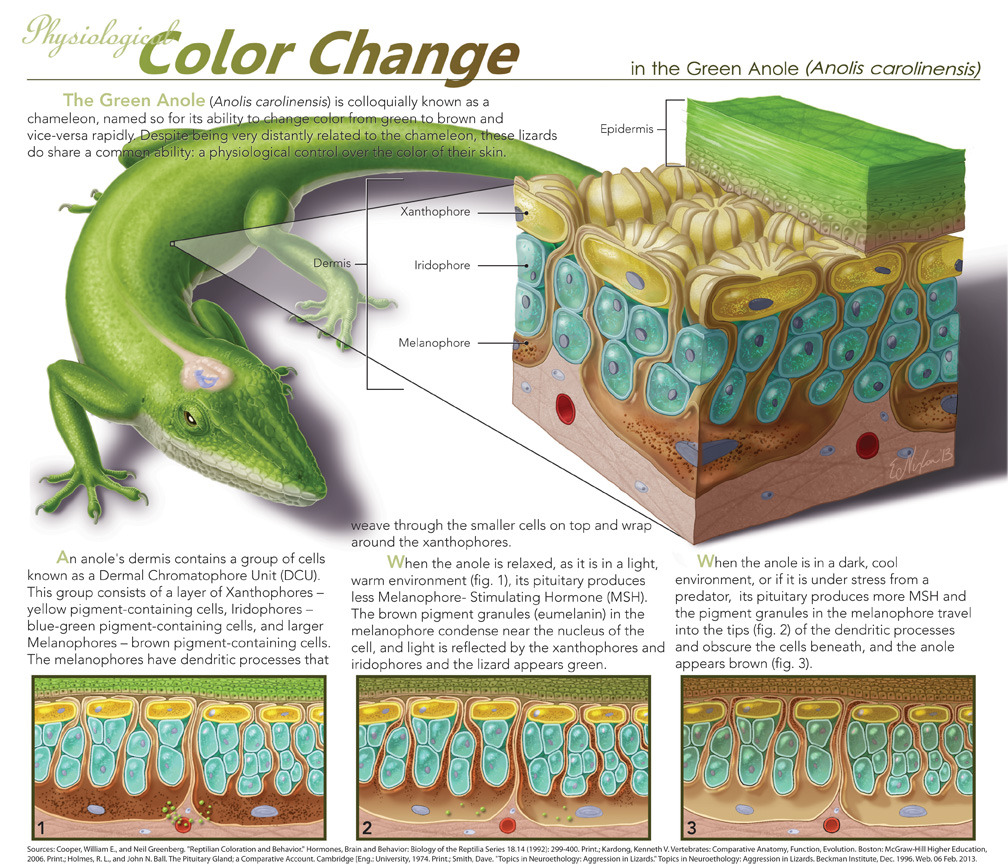 Physiological Color Change by ~elizabethnixon Ever wonder how an Anole changes color? Here's how!