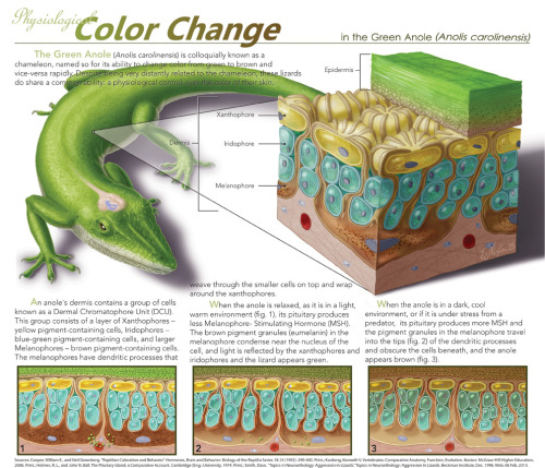 mucholderthen:  Physiological Color Change by ~elizabethnixon  Ever wonder how an Anole changes color? Here's how! Done in adobe photoshop. ~40+ hours  ANOLES [polychrotidae]Due to their ability to change color, anole lizards are frequently referred to as American chameleons.  Also, because they can run up walls, they are sometimes confused with geckos.  Not closely related to either of those groups, in fact, they are more closely related to iguanas.