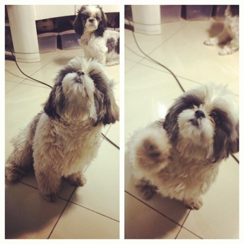 Someone badly needs grooming.. Hahaha.. @cmluy @michuy #shihtzu #instashihtzu #pandaroo #pandadog #cute #cutestagram #cutiepie #cutie #fur #fury #pet #petstagram #petlover #dog #doggie #doglover #