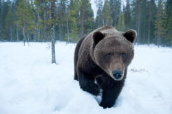 Animals Face to Face: Bear  by Stefano Unterthiner
