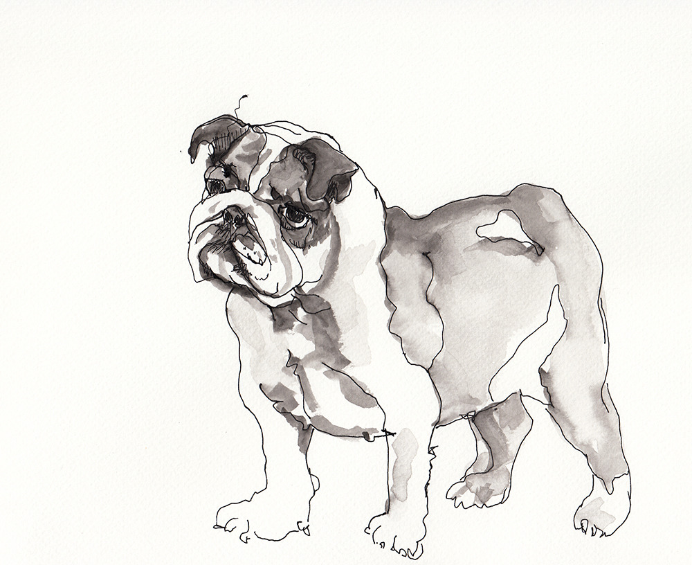 Bulldog in pen and ink.