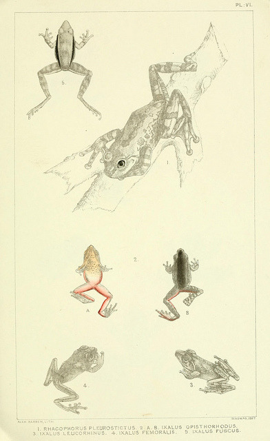 scientificillustration:  Catalogue of the Batrachia Salientia and Apoda (frogs, toads, and cœcilians) of southern India by BioDivLibrary on Flickr. Madras :Superintendent, Government Press,1888..biodiversitylibrary.org/page/9661496