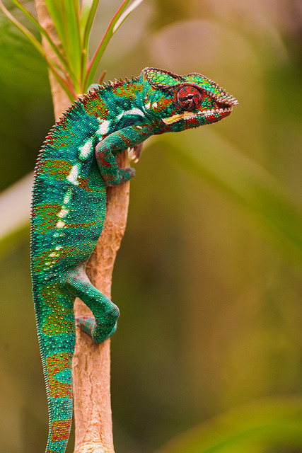 10bullets:  Chameleon on the branch by Tambako the Jaguar on Flickr.