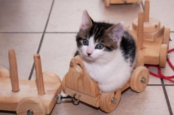 thefrogman:  Whiskey the kitten says chooo choooooo.  [reddit]