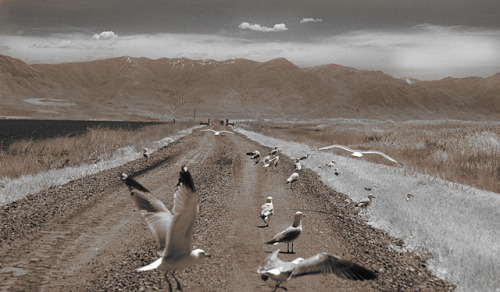 California Gulls on the road, Bear River Wildlife Refuge, Utah on Flickr.