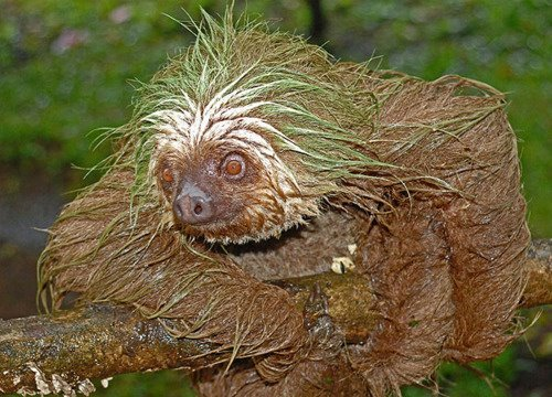"ethicalbreakdance:  eternalsloth:  dirty sloths  Earth elemental sloth.  The sloth rose his head from his earth bed and spoke in a voice as old as time.  ""Before I let you walk through the Glade of Shadows, you first must answer the Riddle of the Stone's Song."""
