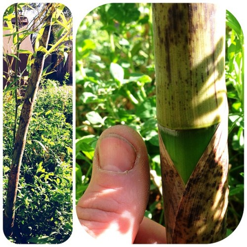 Four days old! #instantgratification #thumbsup #greenthumb #biggest #bamboo in the #garden yet.