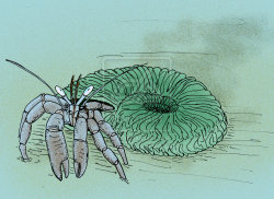 mucholderthen:  Palaeopagurus vandelenengeli Lower Cretaceous hermit crab in an Ammonite shellby =avancna Based on In situ fossil hermit crabs (Paguroidea) from northwest Europe and Russia  [PDF] The Hauterivian (Lower Cretaceous) hermit crab, Palaeopagurus vandelenengeli, in a simberskitine ammonite shell. From the Speeton Clay Beds of Speeton, Yorkshire England.