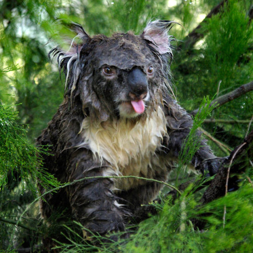 This koala was sleeping in a tree when it was rudely awakened by a gardener who decided to water his trees.  Picture: MATTHEW GRAHAM WILKINSON / CATERS NEWS