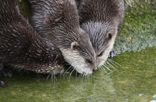 dailyotter:  Three Otters Want Water from the Same Spot Via scara1984