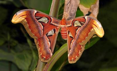 insureandgo:  Butterflies get all the attention and adoration, and moths get… well, trapped in the bathroom, usually. But if you were to find an atlas moth hanging around on your shower curtain, I think you'd definitely give it some attention…  http://blog.insureandgo.com/animals-and-beasts/2013/02/attacus-atlas-the-worlds-largest-moth/ (Image from Hic et nunc/Wikipedia.)