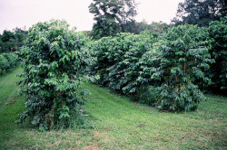 aphelia:  Coffee trees by scurvy_knaves on Flickr.