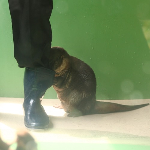 dailyotter:  Otter Looks for a Fishy Treat in the Keeper's Boot Via Beginners Blog Otter