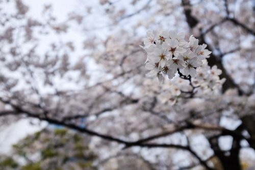 Sakura on Flickr.Via Flickr: Sakura