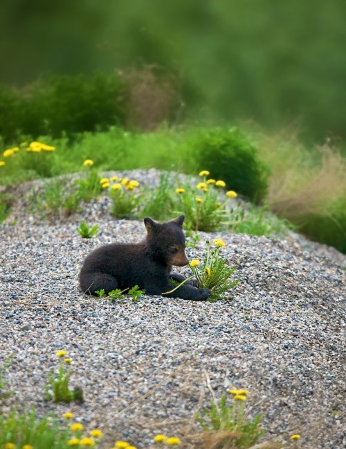 llbwwb:   Todays Cuteness:) Baby black bear by Buck Shreck.   something cute bf Ks final