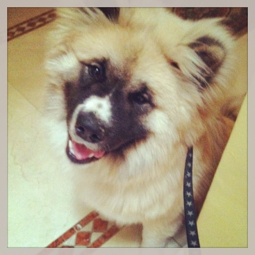 Thanks @rladva for the pic. I miss my baby boy!! #akita #puppy #bear