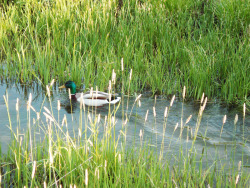 I saw this little guy swimming an an irrigation ditch not far from where I live, so I decided to take a bunch of pictures of him. He didn't appreciate my following him, however, so eventually he waddled up on land and flew away.
