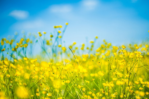 Summer: Blue & Yellow [explored] (by icemanphotos)