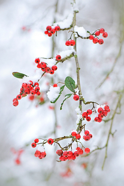 Snow berries by Jacky Parker Floral Art on Flickr.