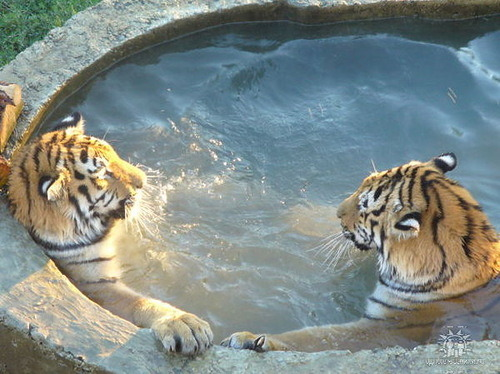 Just some tigers hanging out in a hot tub.