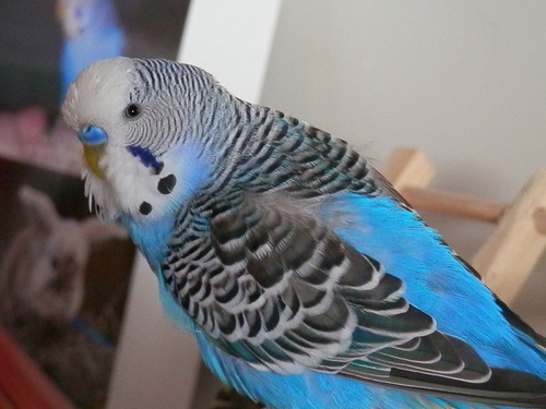 how to know if a parakeet is male or female