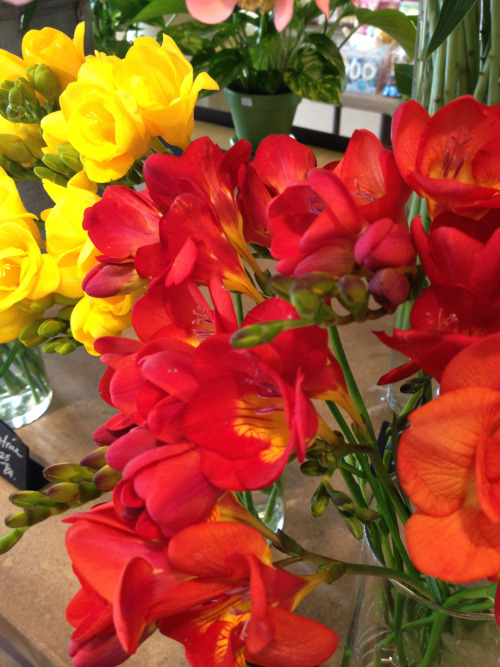 Freesia. Minnesota grown.