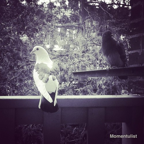 #birds #dove #love #lovely #nature #beauty #beautiful #blackandwhite #ig #instagram #iphonesia #onlyiphone #oninstagram #photooftheday #phonefilth #amazing #amselcom #decay #hashtag #nothingsordinary #jj #watching #follow #city #home #morning #sunny_day #momentulist