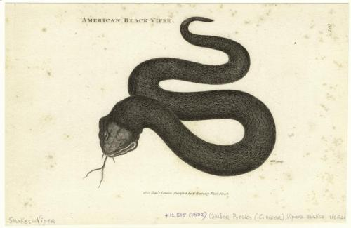 compendium-of-beasts:  American black viper. (1802) via NYPL